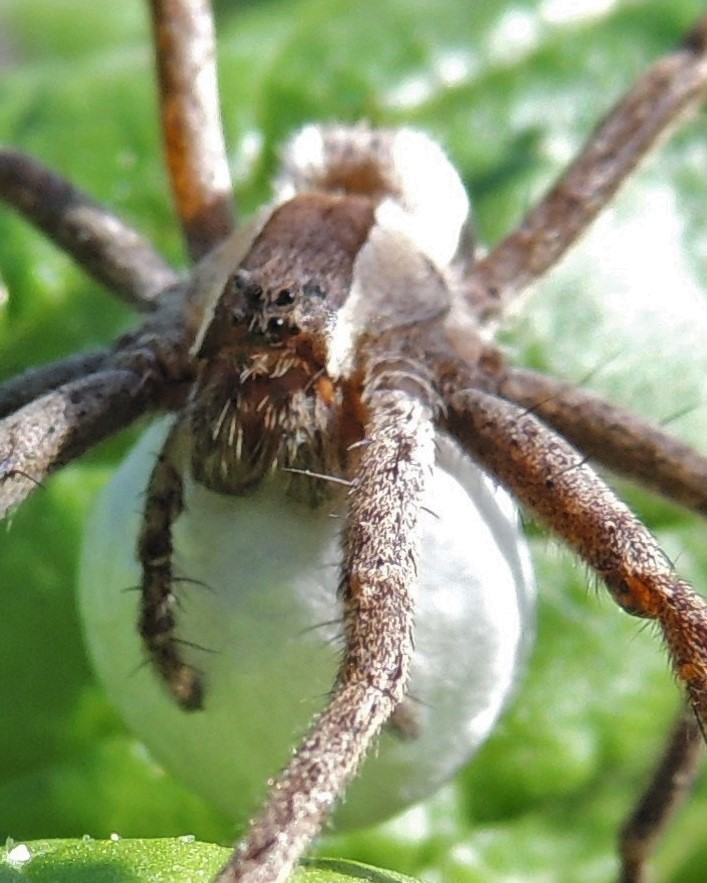 Nursery Web spider close-up