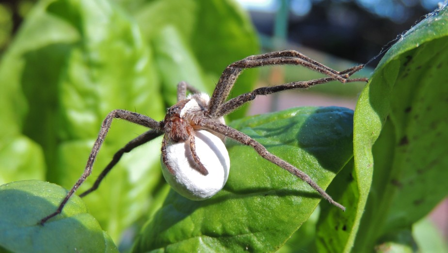 Nursery Web spider with egg case