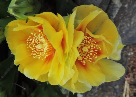 Eastern Prickly Pear Cactus two flowers