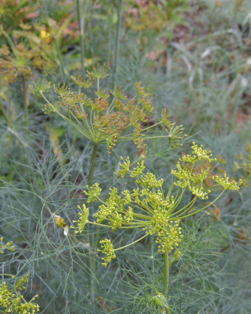 Dill seed heads