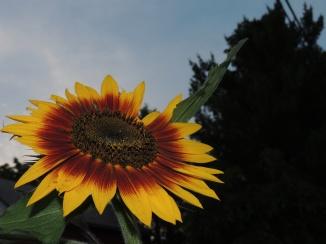 Sunflower at twilight