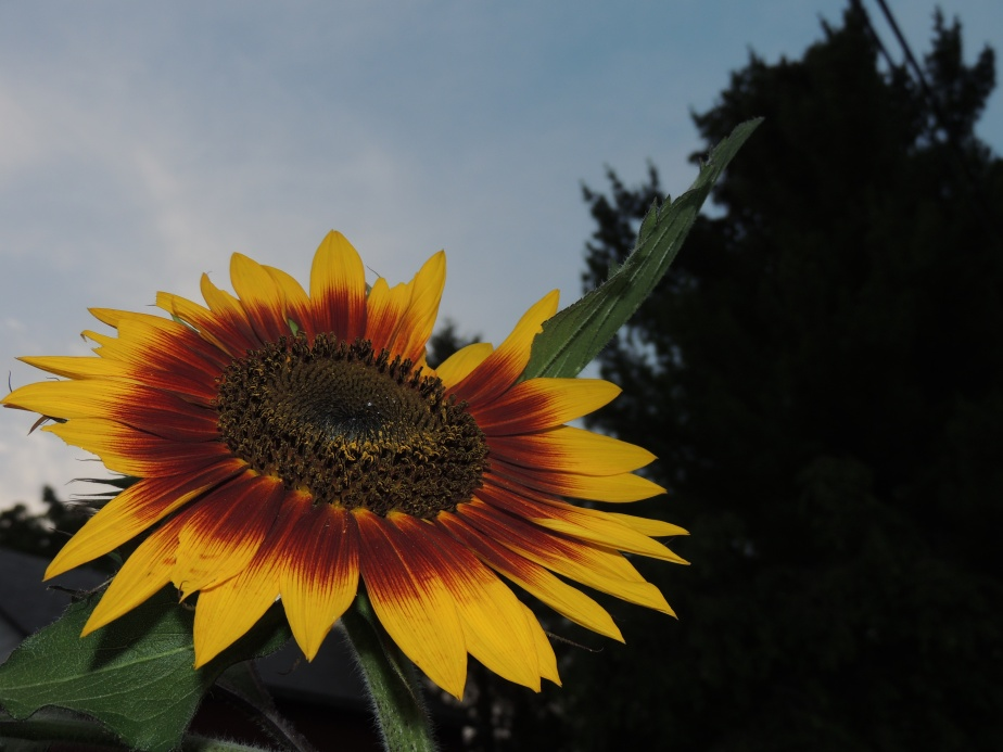Sunflower at twilight