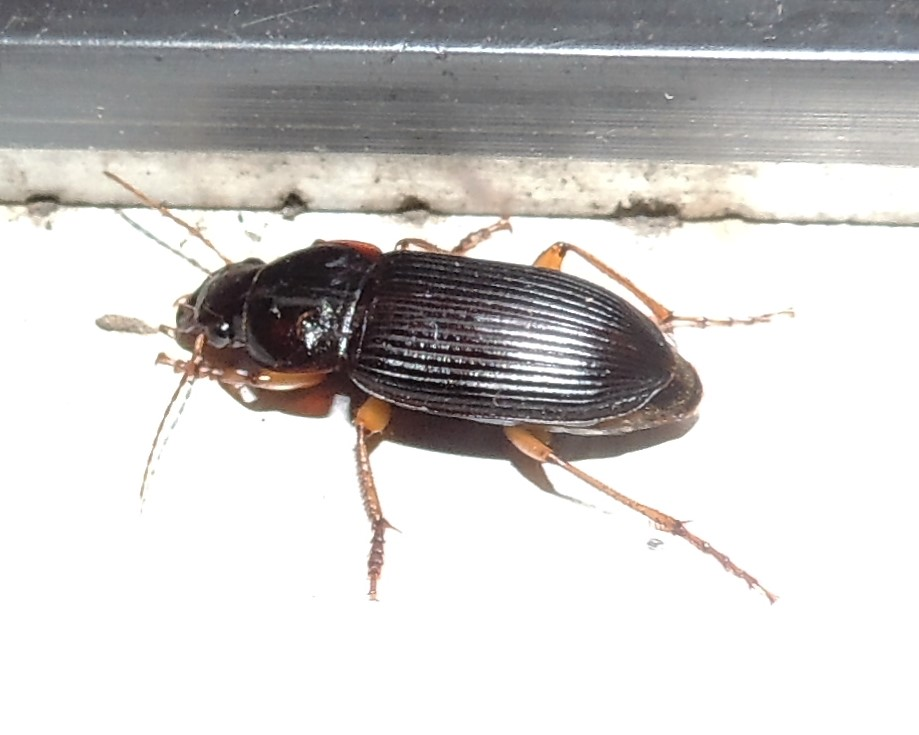Common Black Ground Beetle