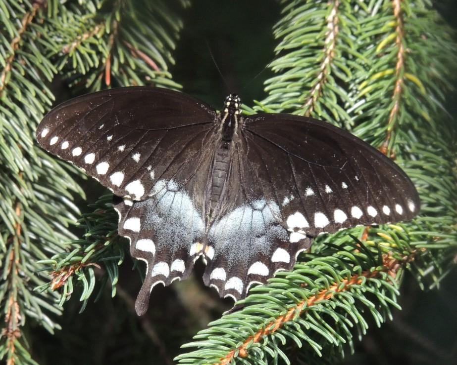 Spicebush Swallowtail Butterflu