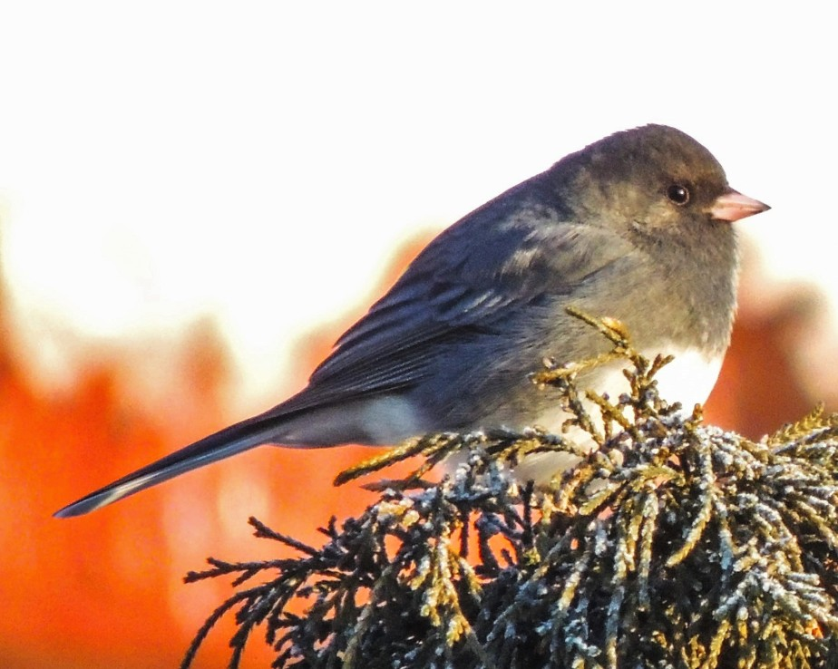 Junco on Thread-leaf cypress
