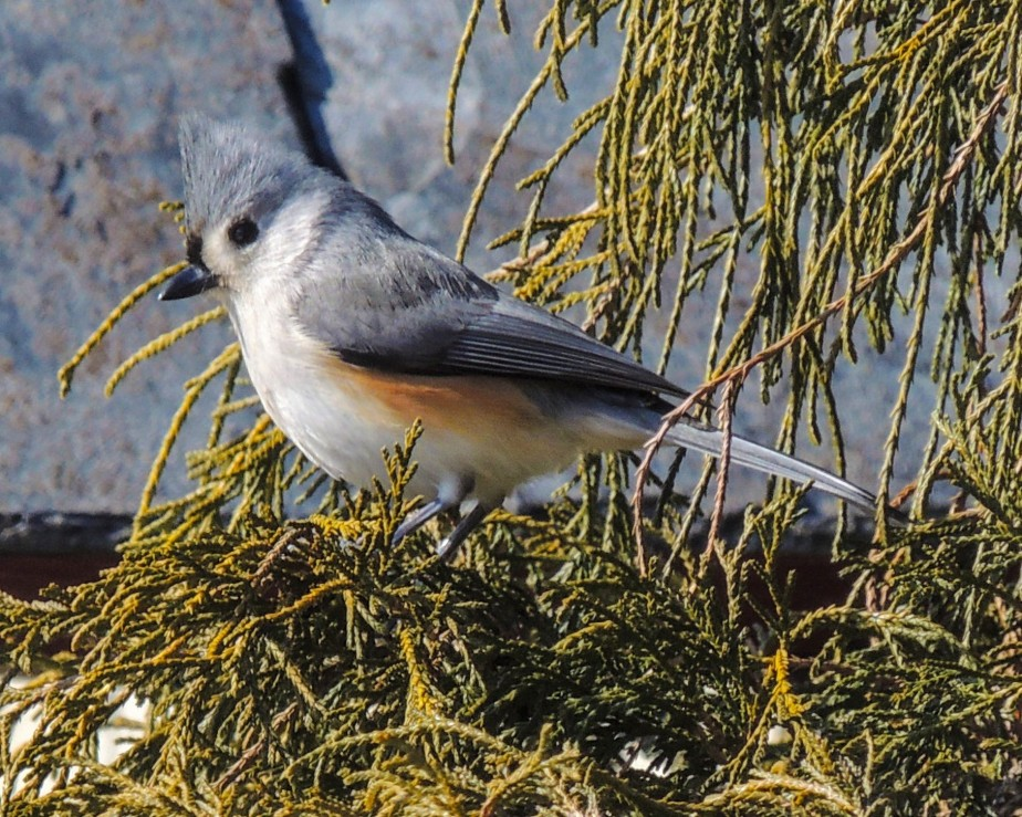 Titmouse on Thread-leaf cypress