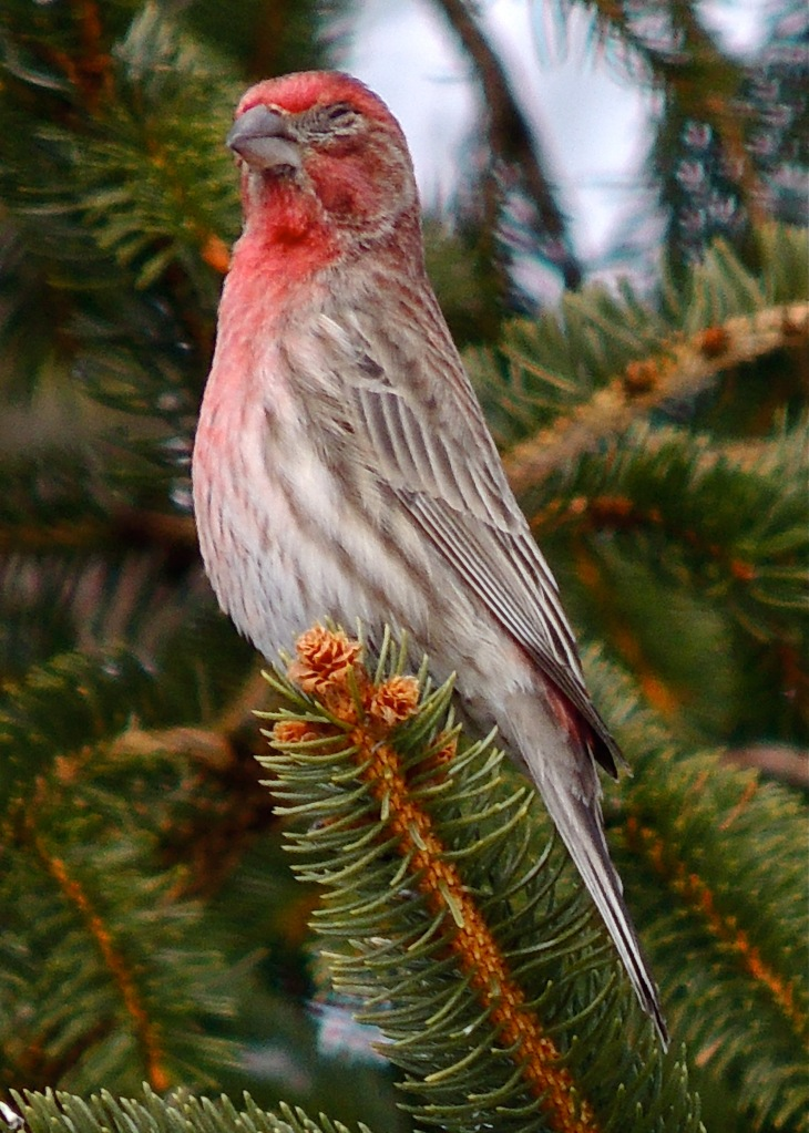 House Finch in Pine Tree