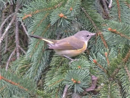 Female American Redstart in Norway pine September 2018