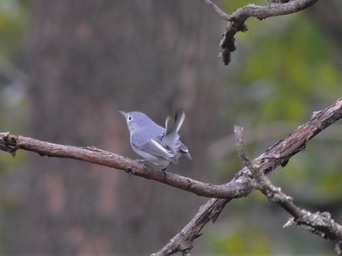 Blue-grey Gnatcatcher in sumac September 2018