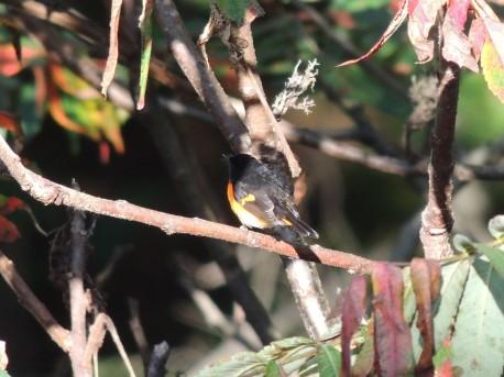 Male American Redstart in sumac 2018