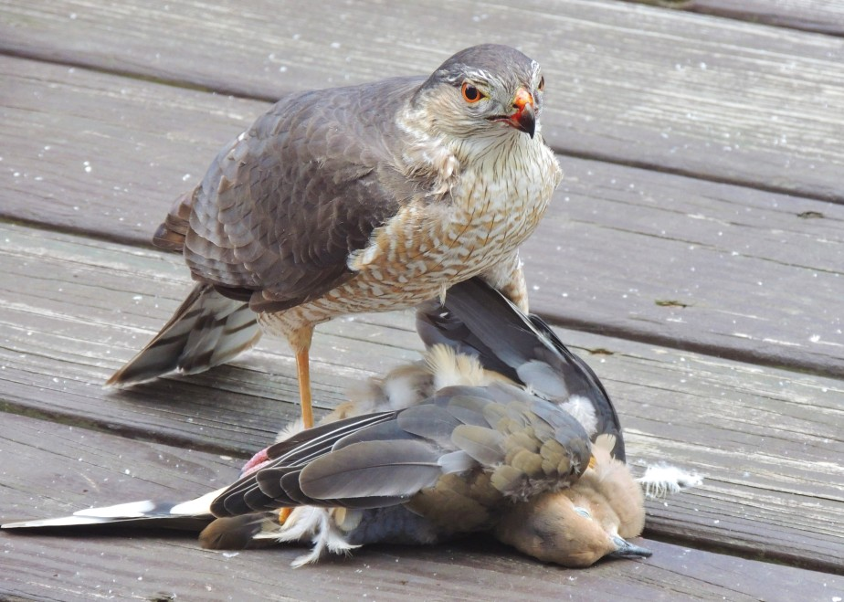 Cooper's Hawk with its prey, a Mourning Dove