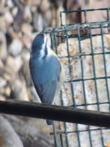 Red-breasted nuthatch on suet feeder January 2019