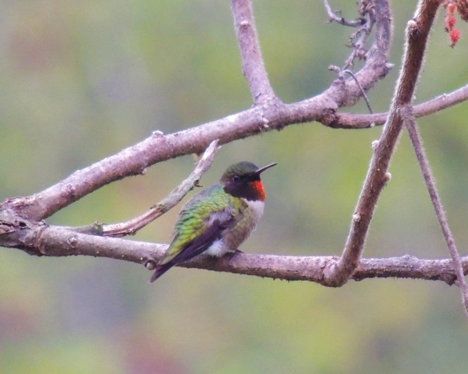 Ruby-throated Hummingbird resting on sumac