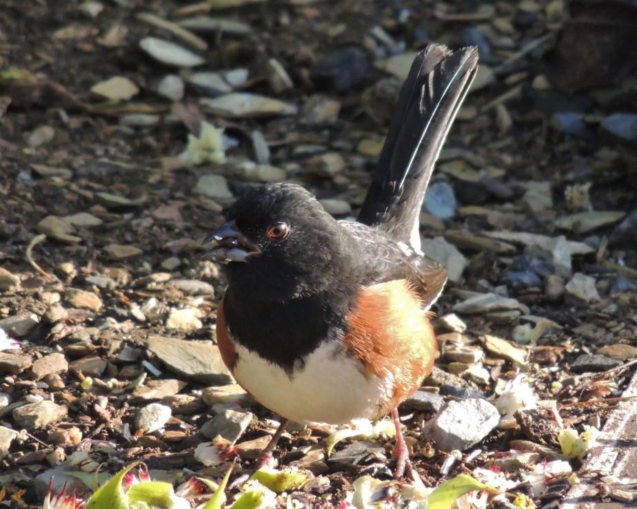 Eastern Towhee (bird)
