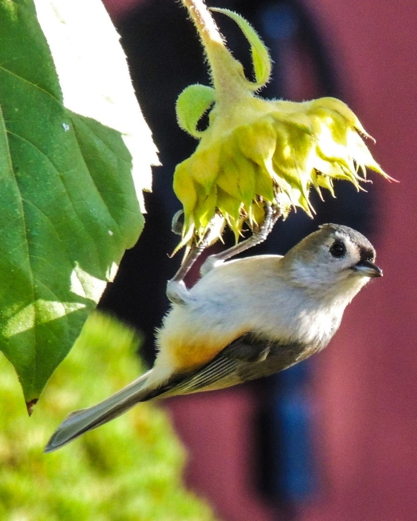 Tuffed Titmouse on sunflower (bird)