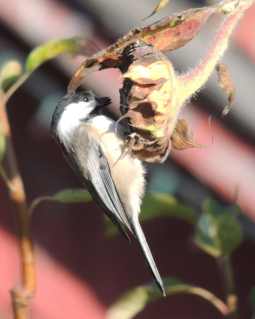 Black-capped Chickadee on sunflower (bird)