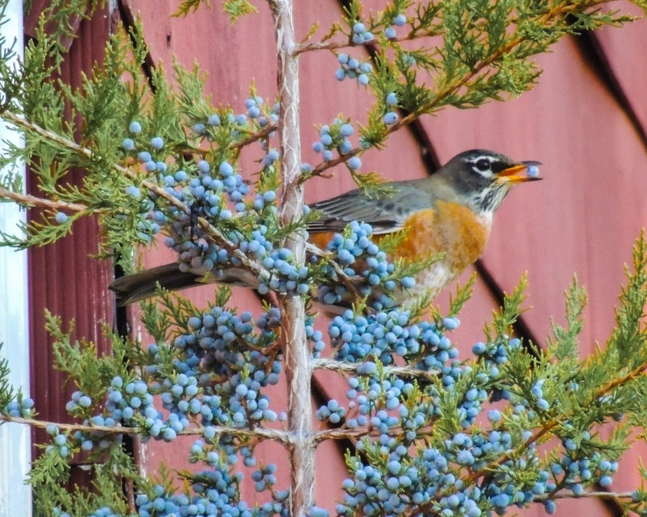 American robin bird on Eastern Red Cedar