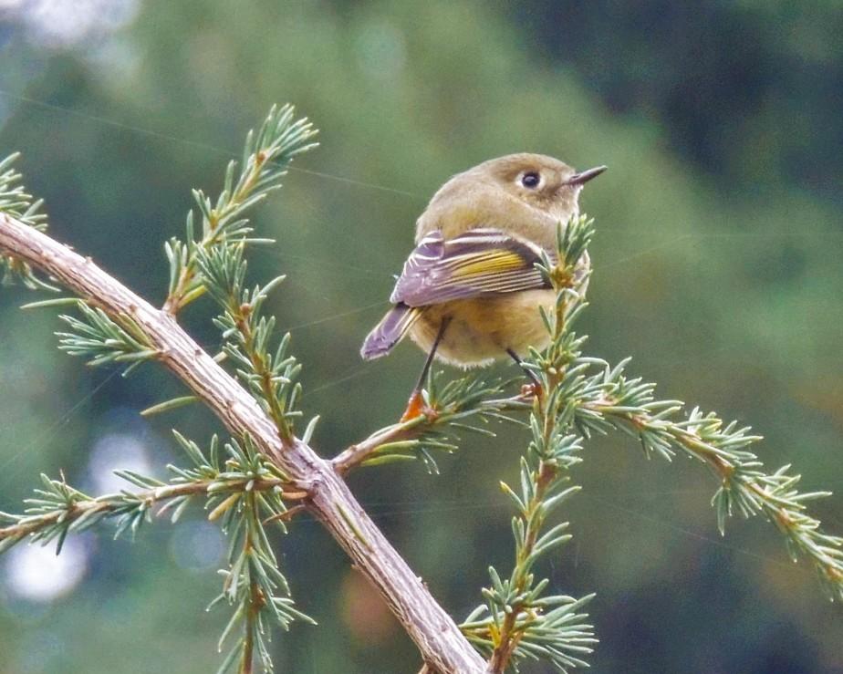 Ruby-crowned Kinglet bird