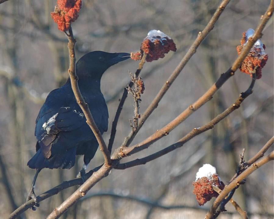 American Crow on sumac