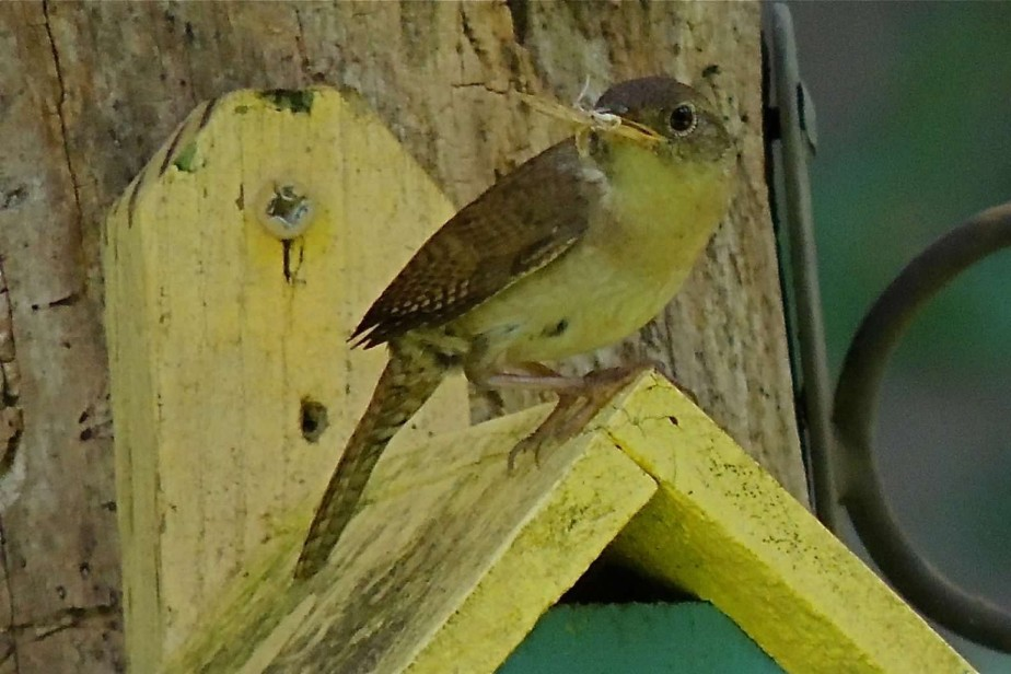 House Wren ready to feed her babies
