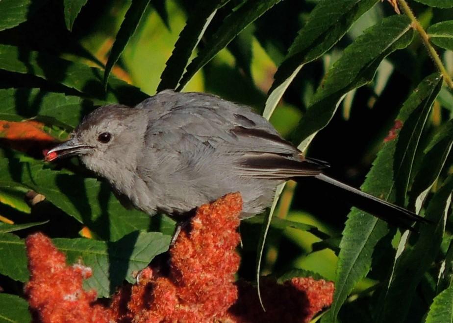 Catbird on sumac