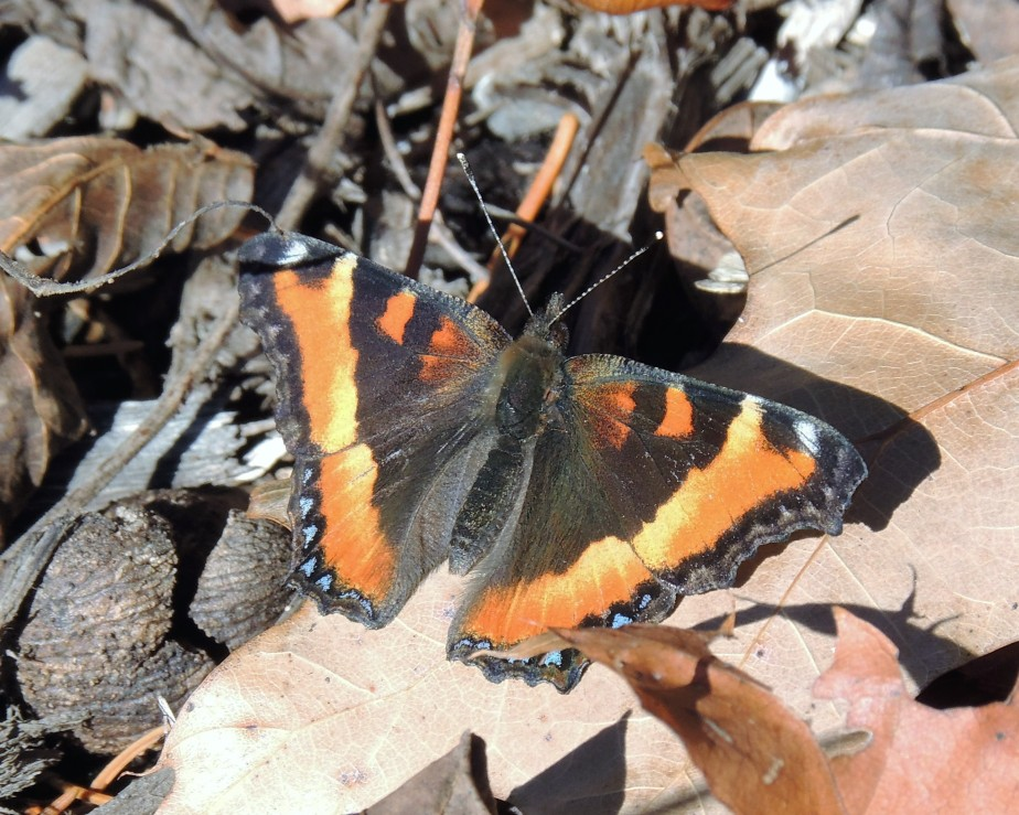 Halloween Surprise – Milbert's Tortoise Shell Butterfly