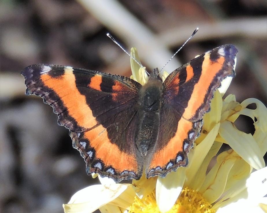 Milbert's Tortoise Shell butterfly,Nymphalis nilberti