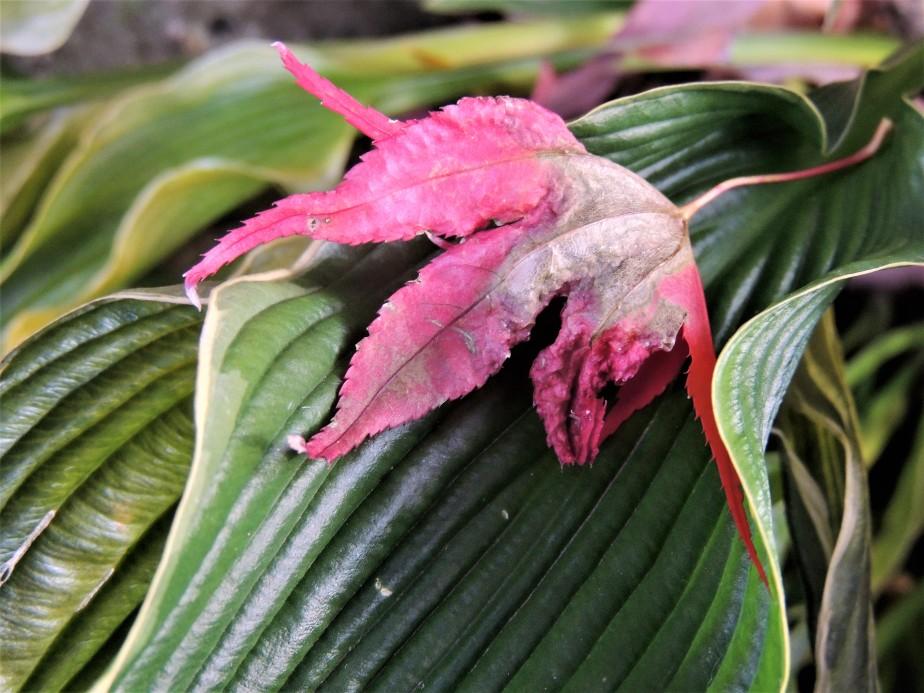 Blood Red Maple leaf on Praying Hands hosta
