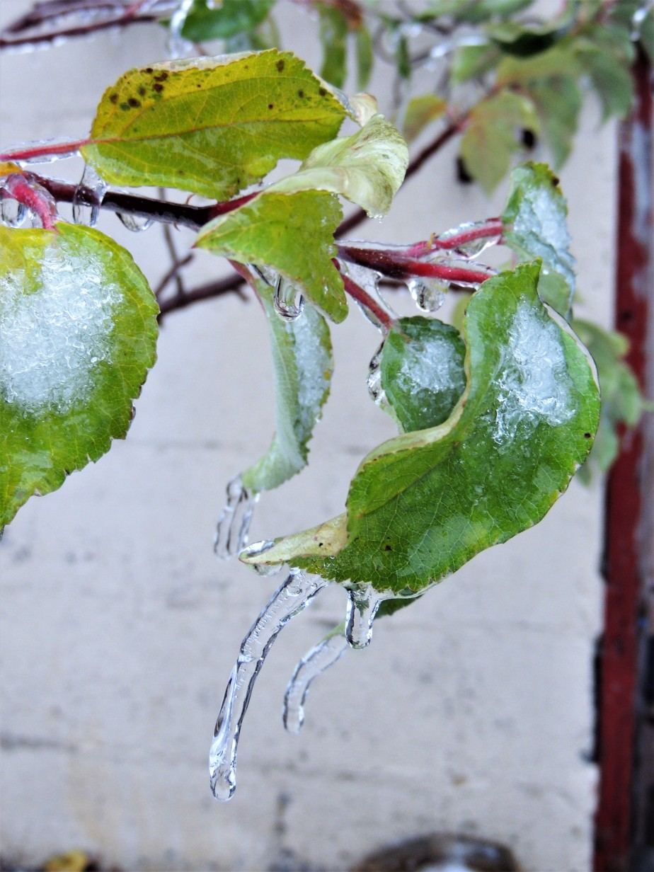 Ice encrusted apple leaves