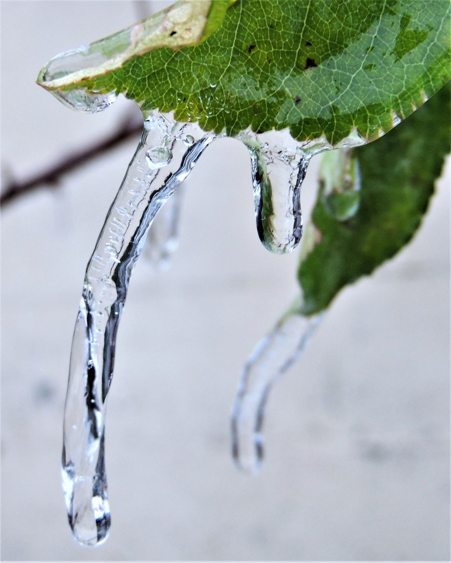 Ice encrusted apple leaf