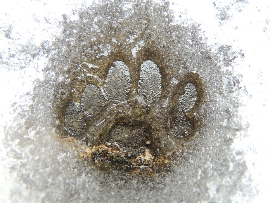 Cat print in the ice