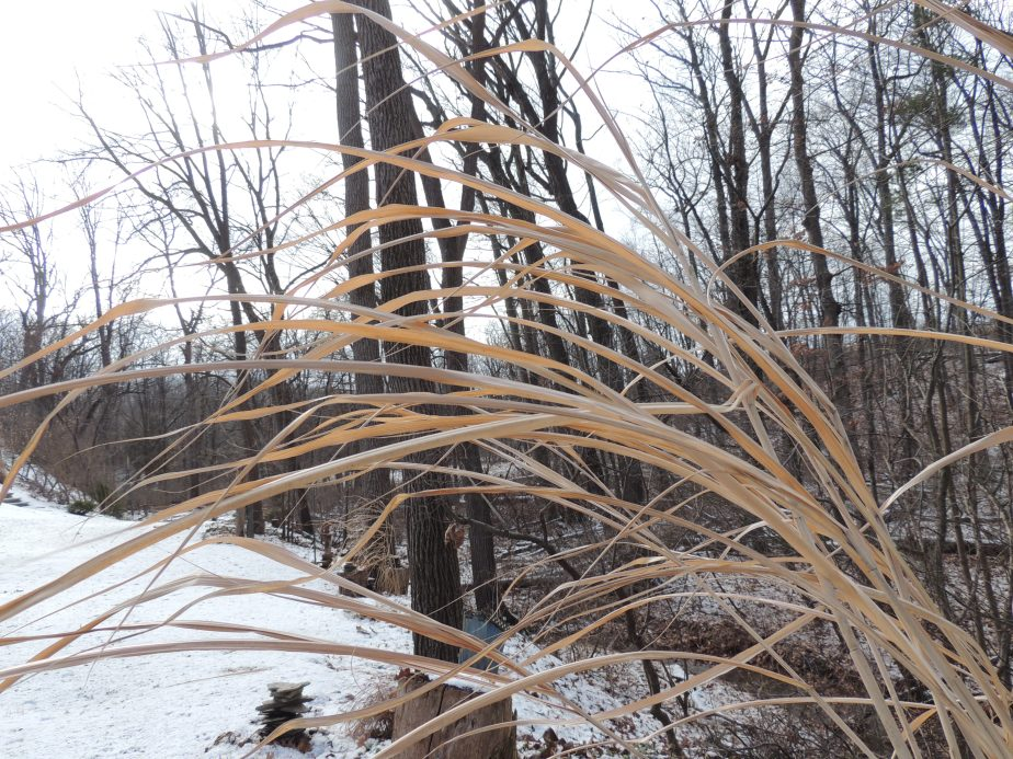 Reminents of Bamboo grass in the winter garden