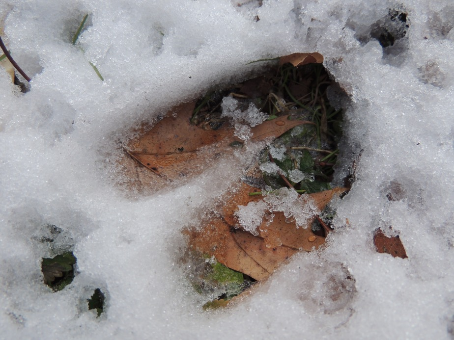 Deer track in the snow lower gardens