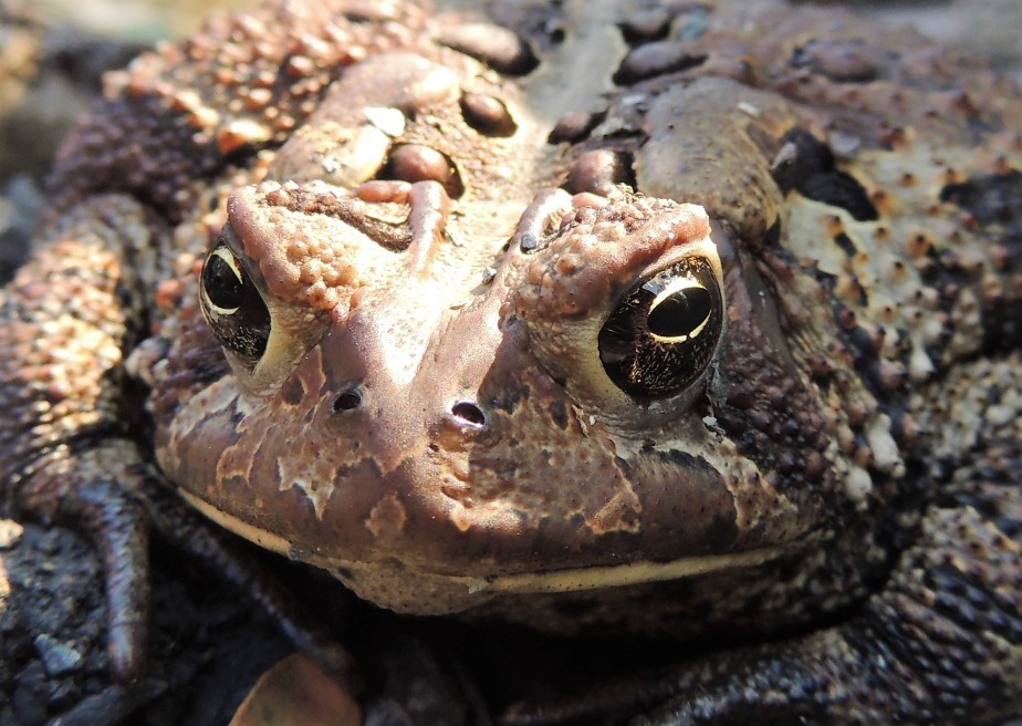 american-toad