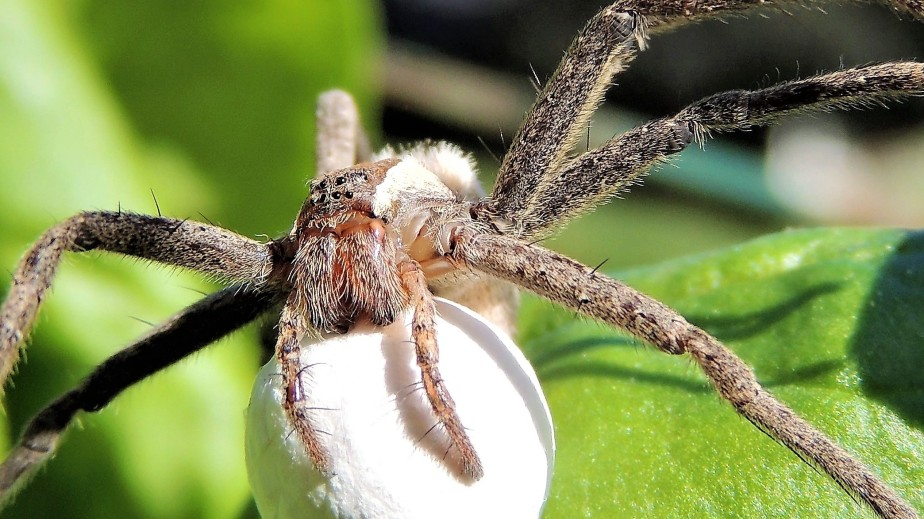 nursery-web-spider-2