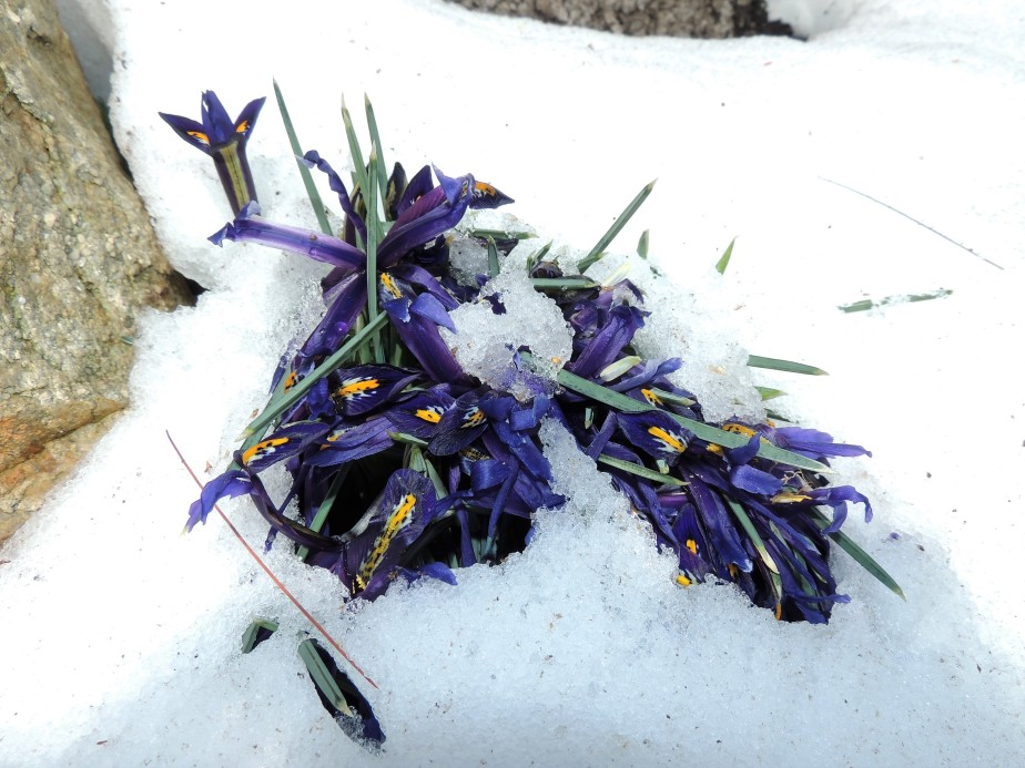 Iris emerging from the snow