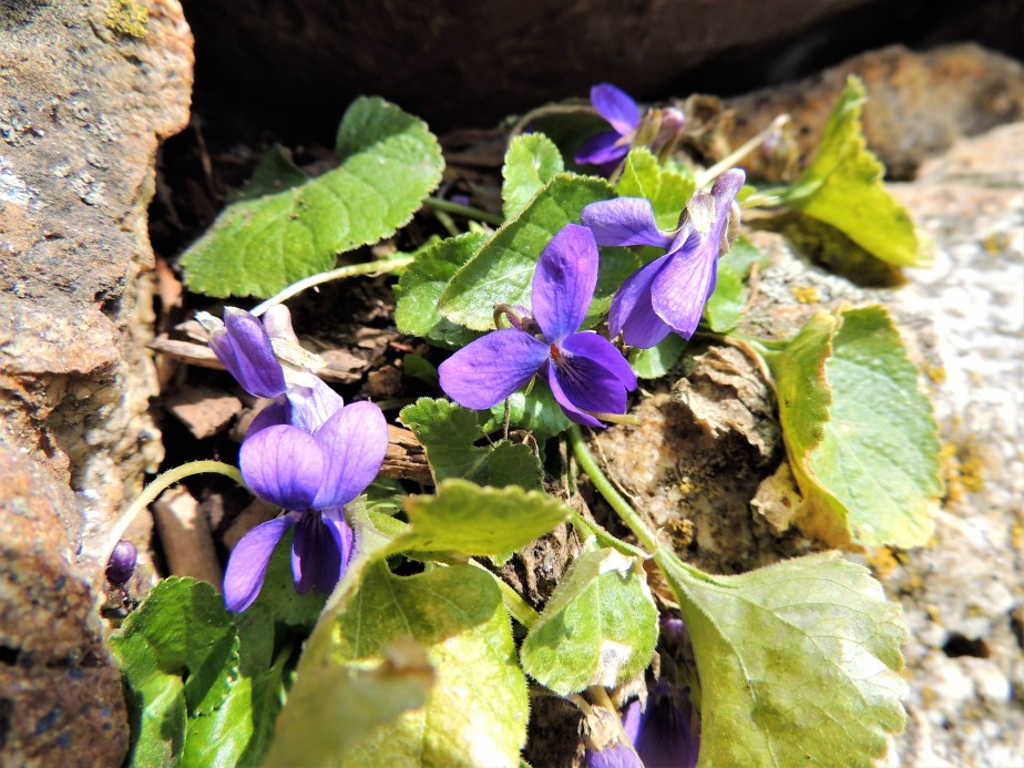Sweet violets amongst the rocks