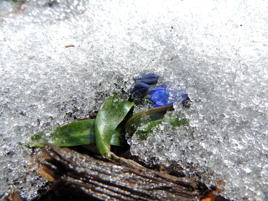 Scilla emerging from the snow