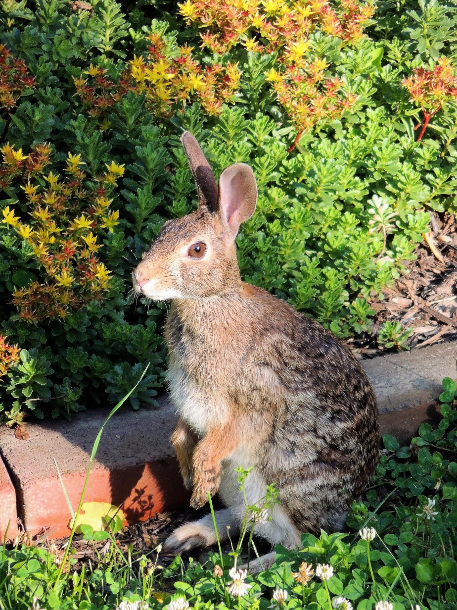 Eastern Cottontail rasbbit