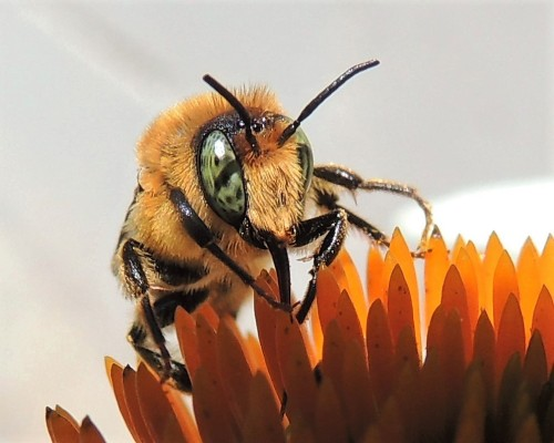 Native bee on white cone flower