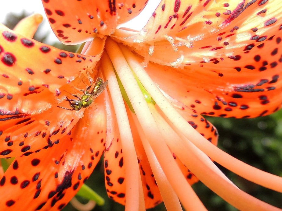 Sweat bee on native Turk's Cap lily
