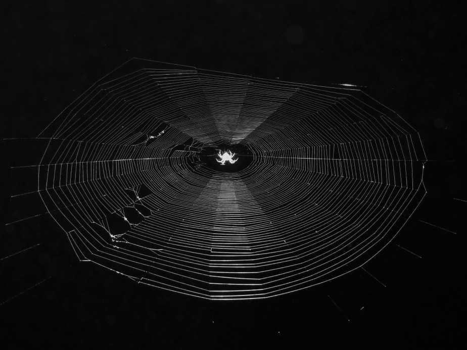Orb spider in black and white