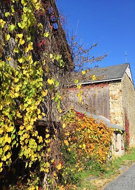 Poiaon ive and grape vines overtake the wooden barn