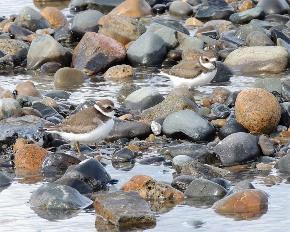 Plover, Shore birds on the beach, Wells Maine
