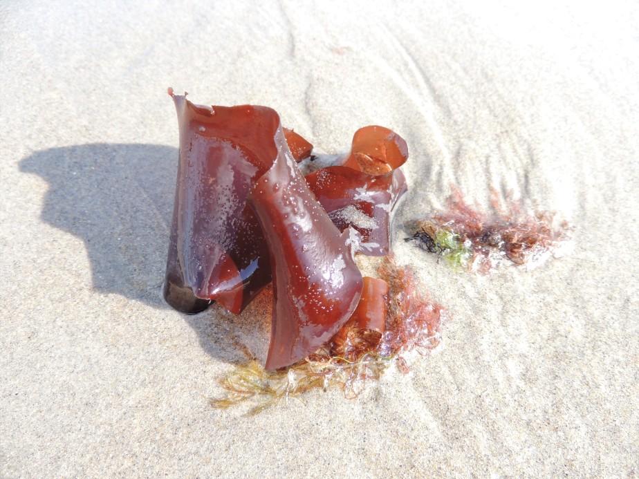 Kelp Wells, Maine