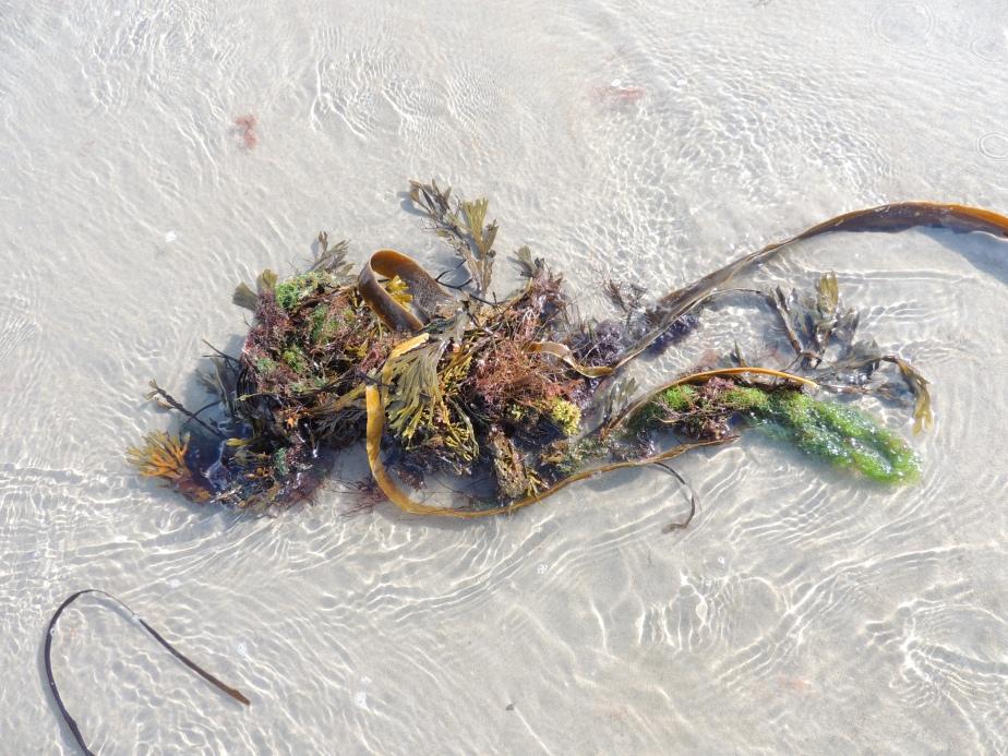 Seaweeds Weeds, Maine