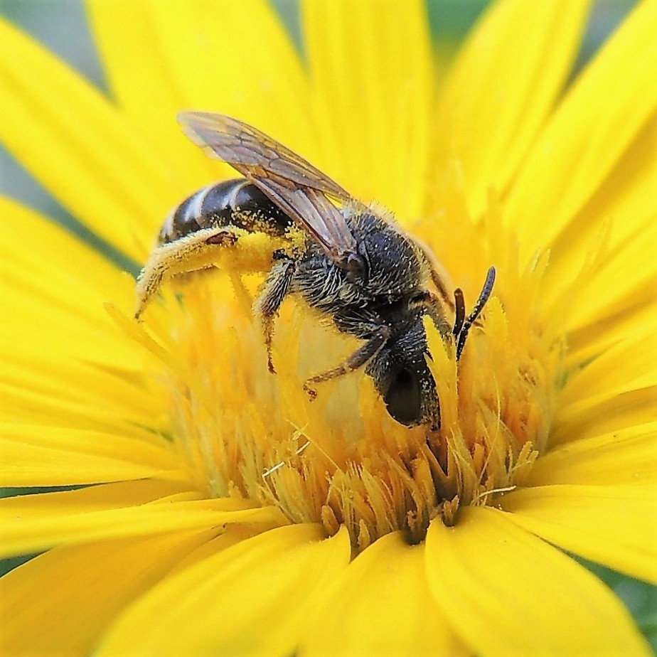 Pennsylvania native bee