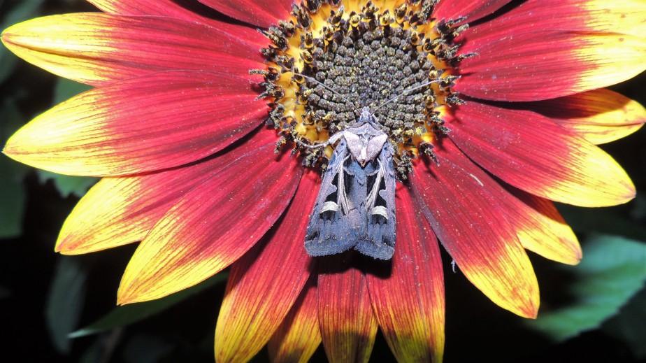 Unknown moth August 20, 2017
