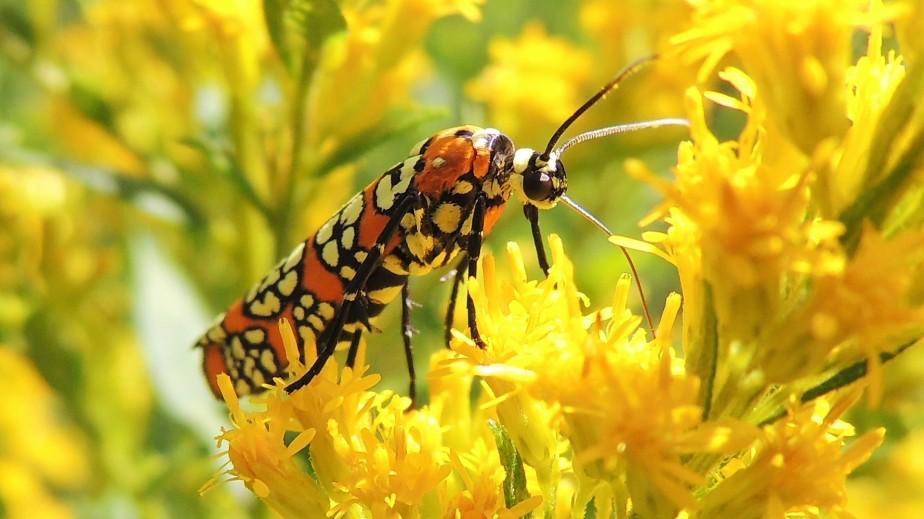 Ailanthus Webworm moth August 24, 2017