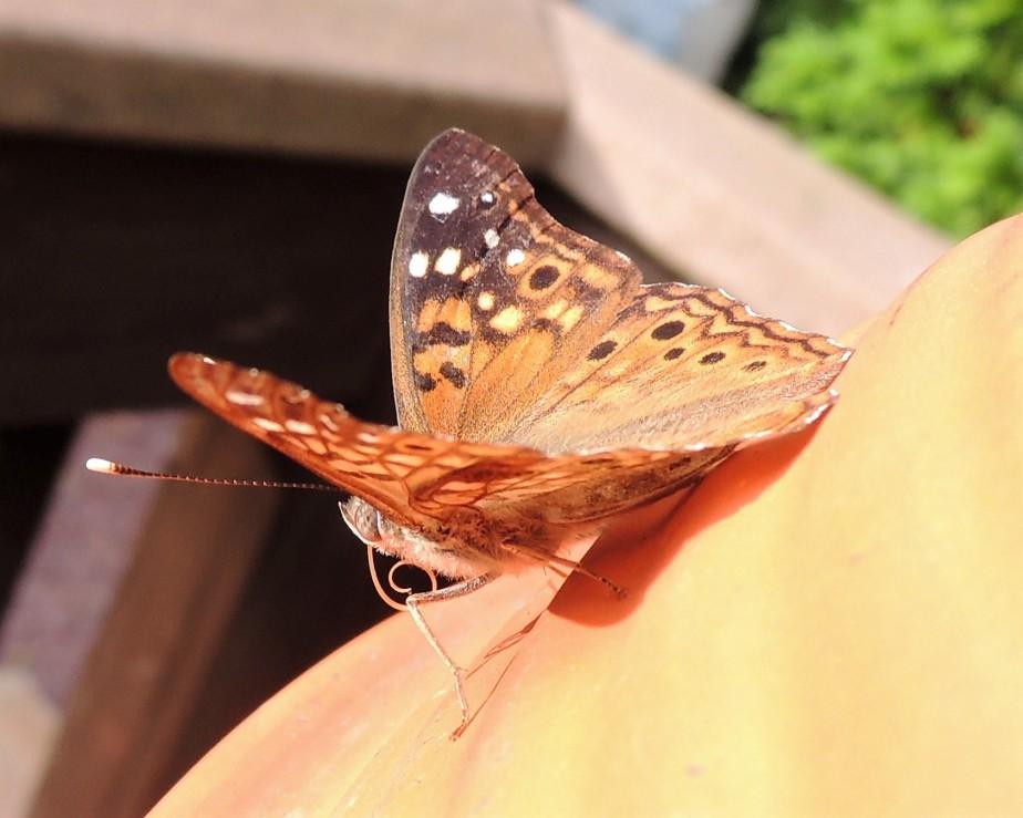 Hackberry butterfly September 19, 2017